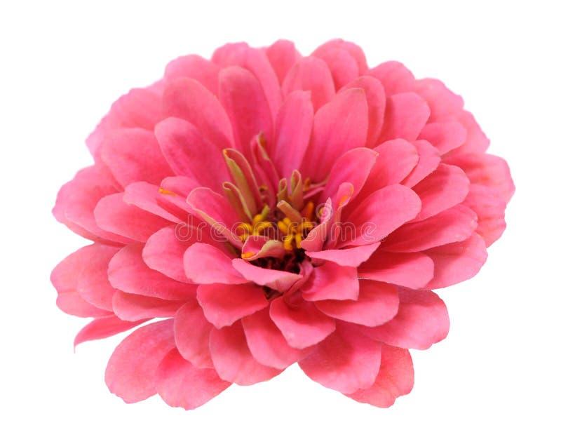 Różowe cynie zdjęcie stock