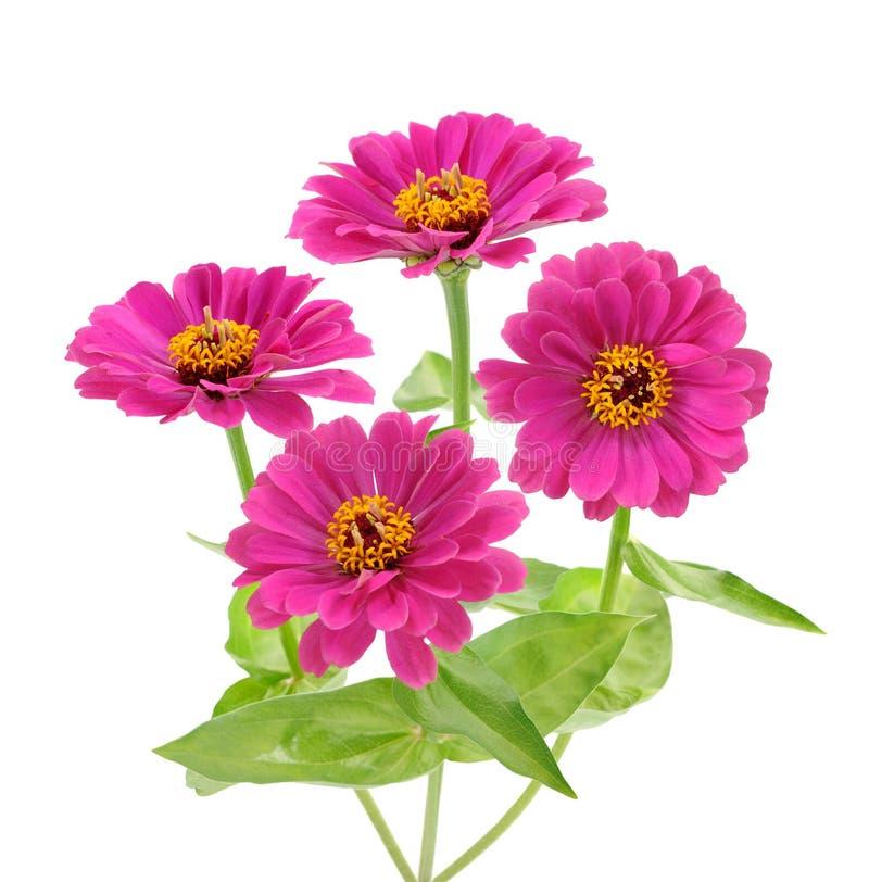 Różowe cynie zdjęcie royalty free