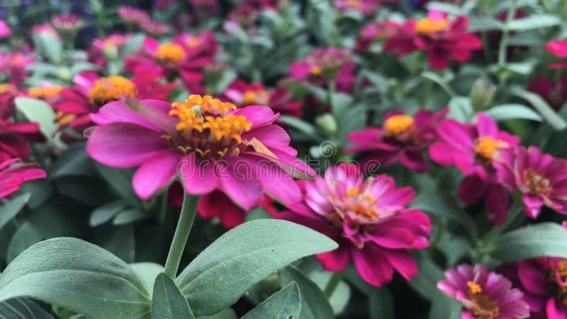 Różowe cynie w ogródzie kolorowych kwiacie i zdjęcia royalty free