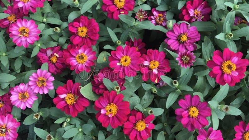 Różowe cynie w ogródzie kolorowych kwiacie i fotografia stock