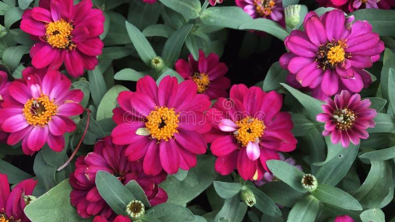 Różowe cynie w ogródzie kolorowych kwiacie i zdjęcie royalty free