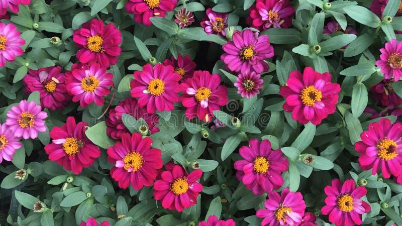 Różowe cynie w ogródzie kolorowych kwiacie i obrazy stock