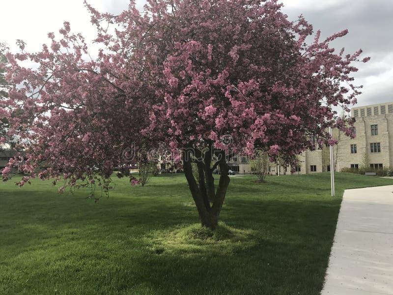 różowe drzewo obrazy royalty free