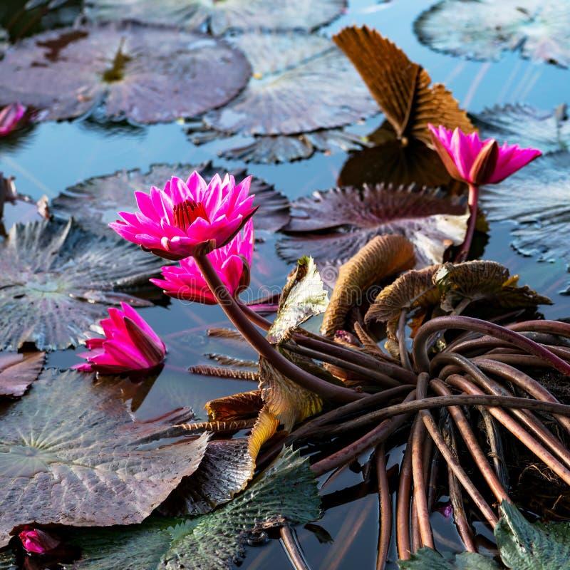 Różowe egzotyczne wodne leluje w tropikalnym stawowym Tobago obciosują zdjęcie stock
