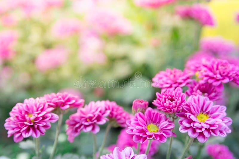 Różowe gerber stokrotki kwitną wiosna kwiaty na przy zmierzchem fotografia royalty free