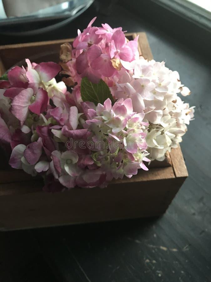 Różowe hortensje w drewnianym pudeÅ'ku zdjęcia royalty free