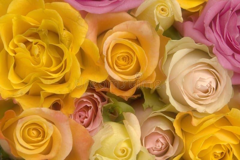 Różowe i żółte róże obrazy royalty free
