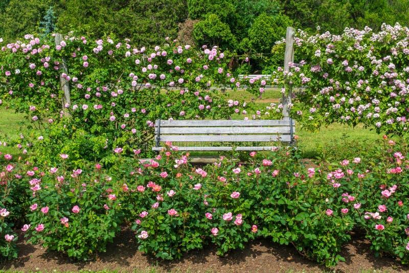 Różowe i białe róże otaczają drewnianą parkową ławkę zdjęcie royalty free