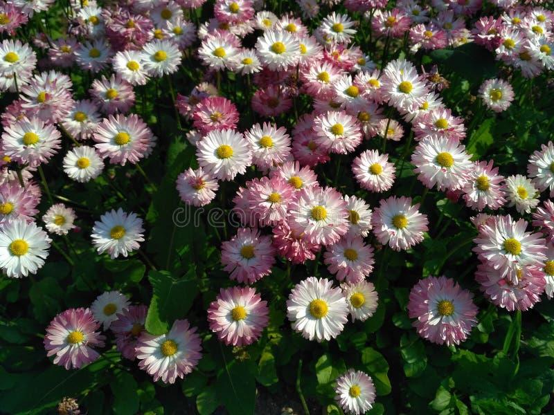 Różowe i białe stokrotki w ogródzie zdjęcia royalty free