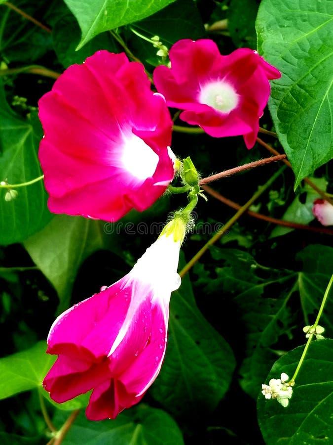 Różowe i czerwone ranek chwały zdjęcie royalty free