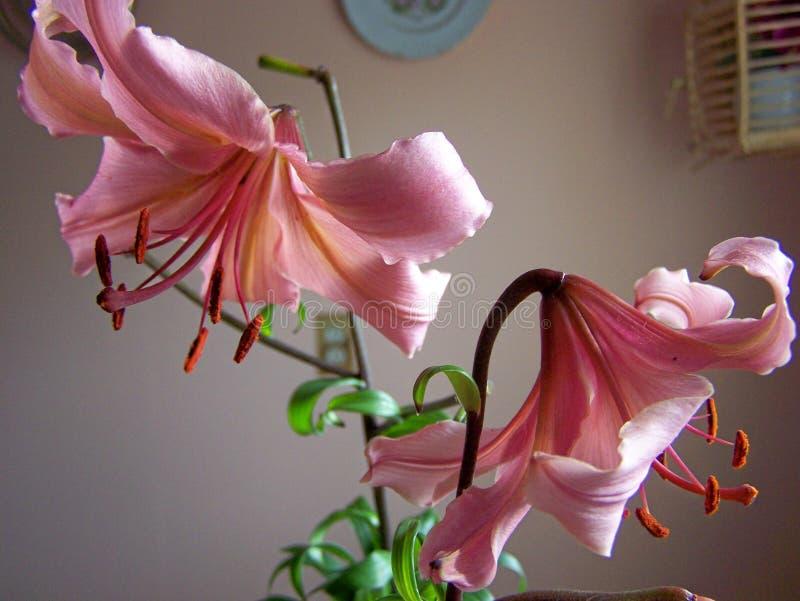 Różowe leluje pary zakończenie obrazy stock