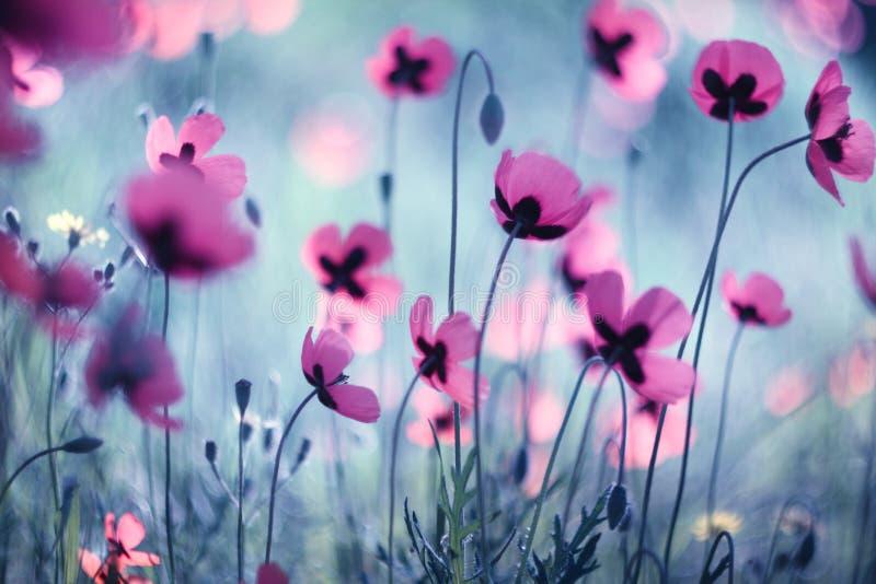 różowe maku obraz royalty free