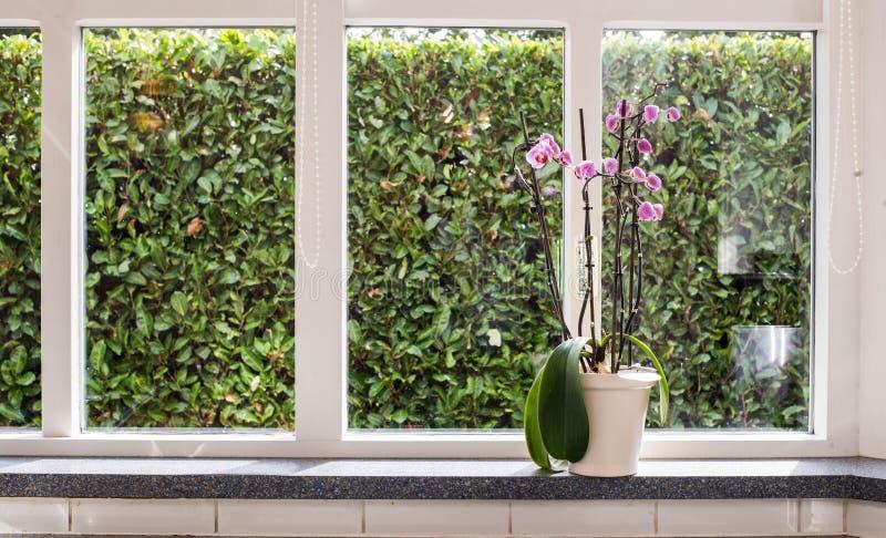 Różowe orchidee w białej wazie na windowsill z zielonym widokiem na słonecznym dniu w domu fotografia stock