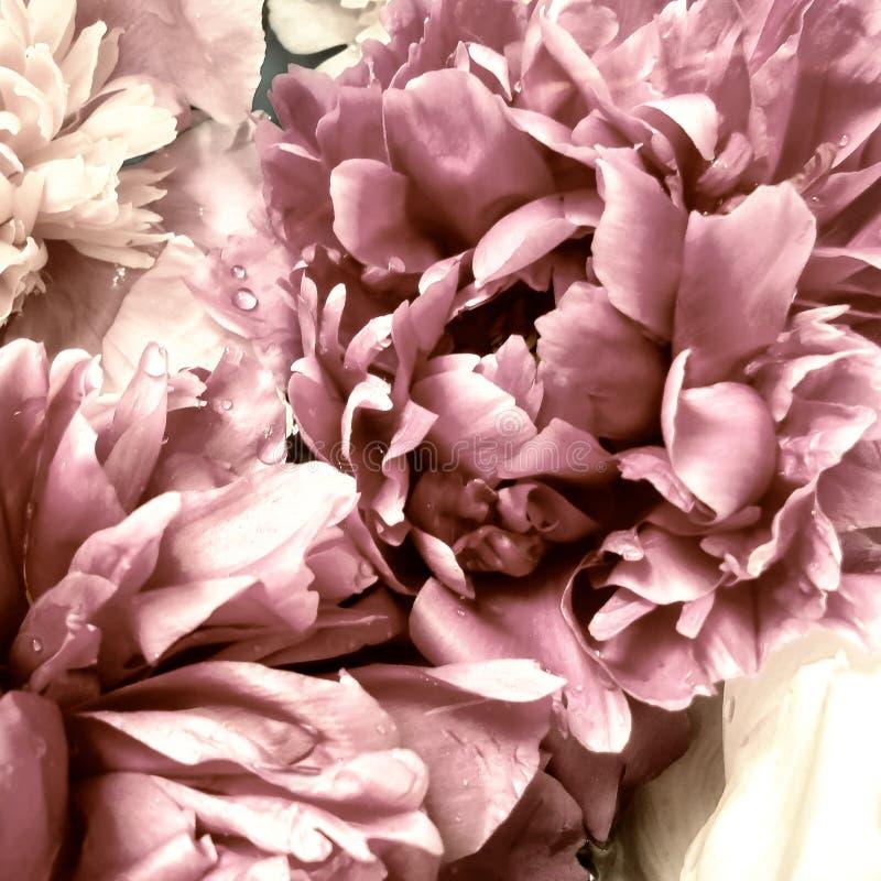 różowe płatki peony z kroplami wody fotografia royalty free
