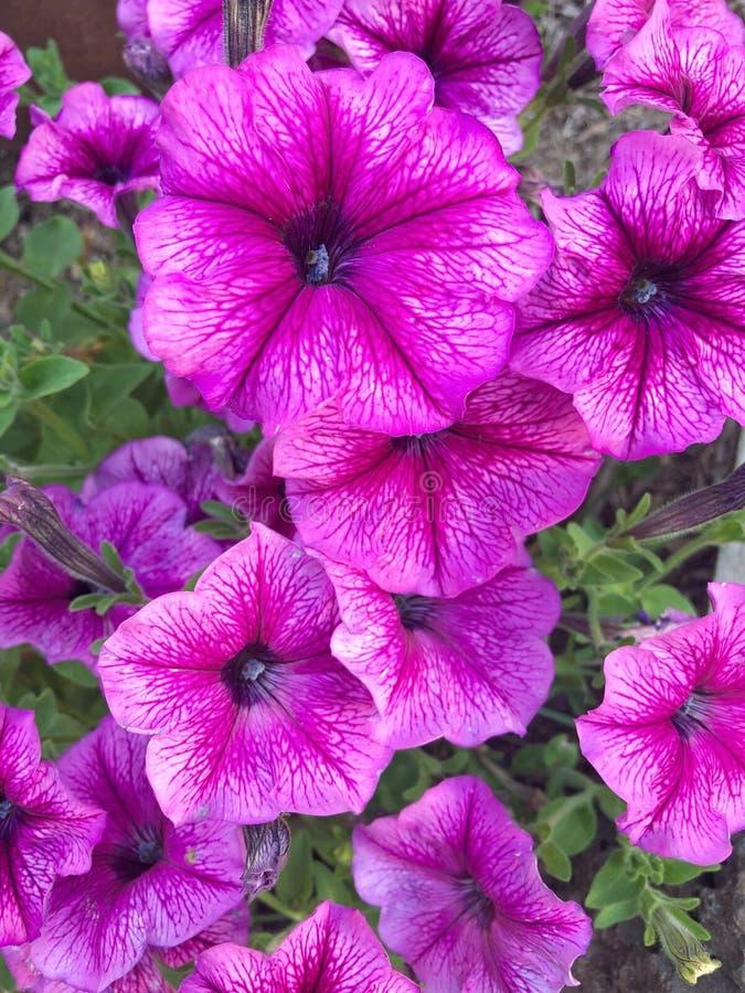 Różowe petunie obraz stock