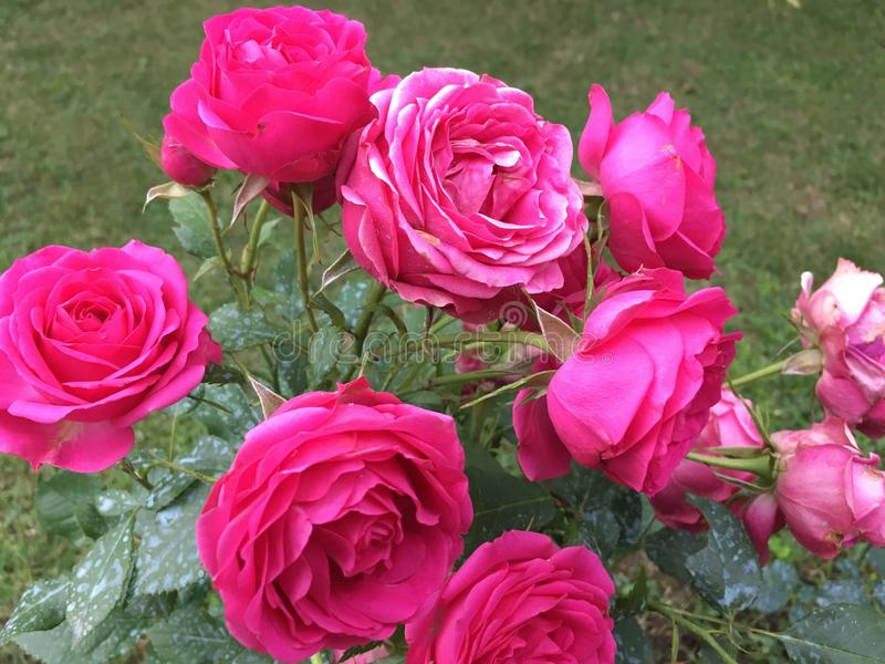 różowe róże fotografia stock