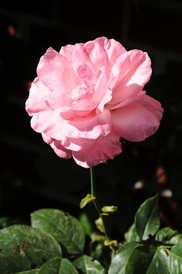 RÓŻOWE róże BD WZRASTALI rośliny obraz stock