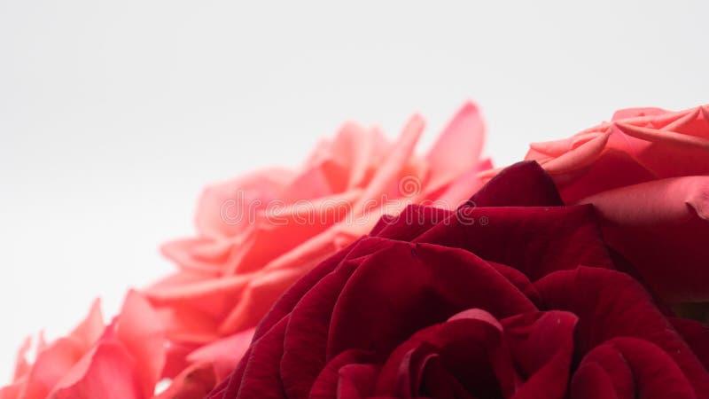 różowe róże czerwone tło białe obrazy royalty free