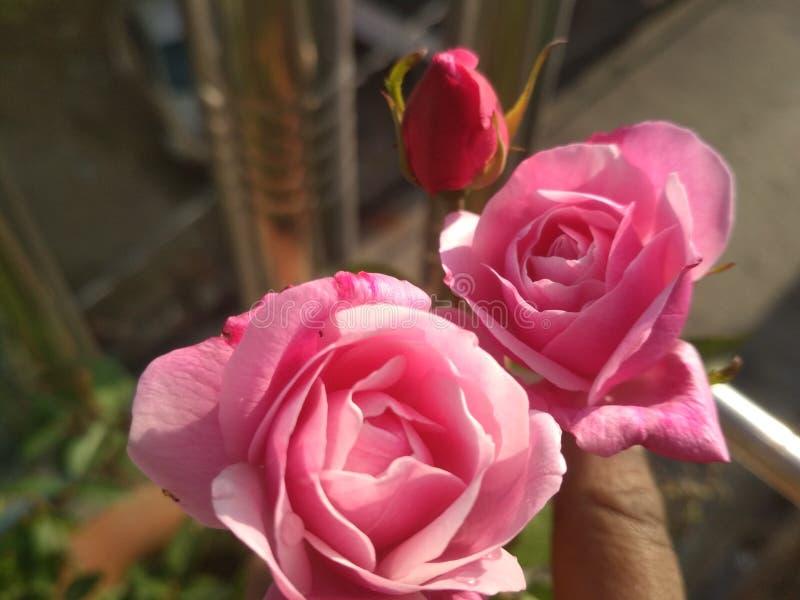 Różowe róże razem z liściem obrazy stock