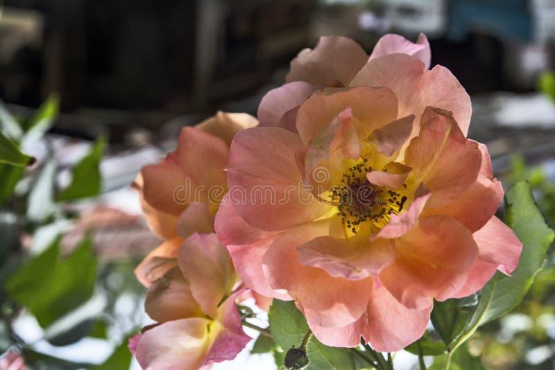 Różowe róże w ogrodzie obrazy royalty free