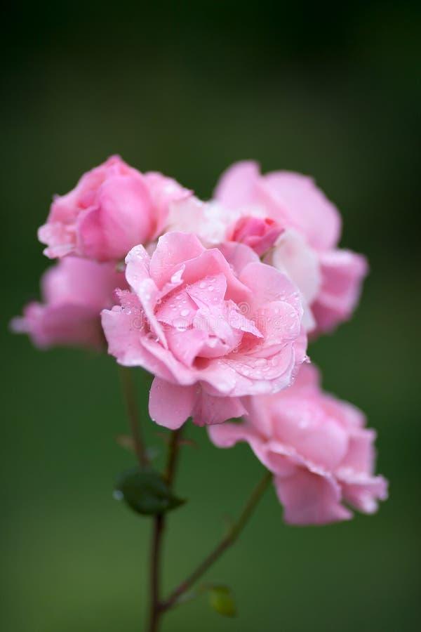 Różowe róże z kroplami deszczu zdjęcia stock