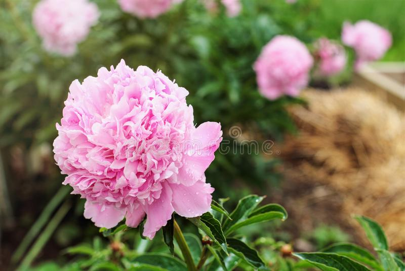 Różowe rośliny grochu rosnące w ogrodzie zdjęcie stock