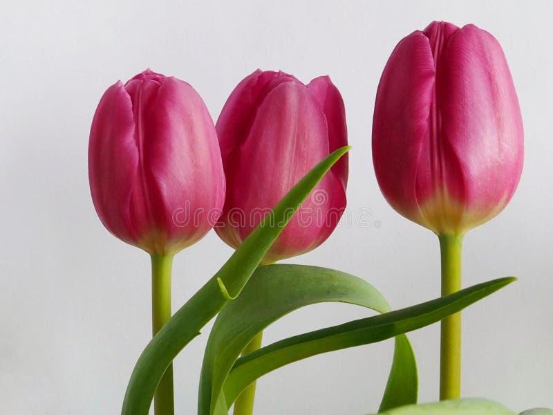 różowe tulipany się blisko ilustracja wektor