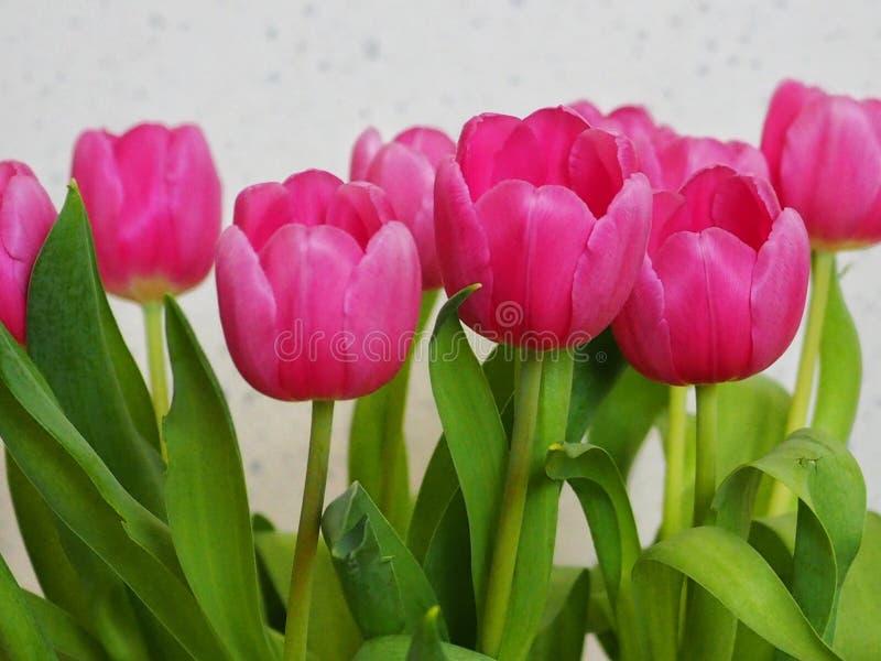 różowe tulipany się blisko royalty ilustracja
