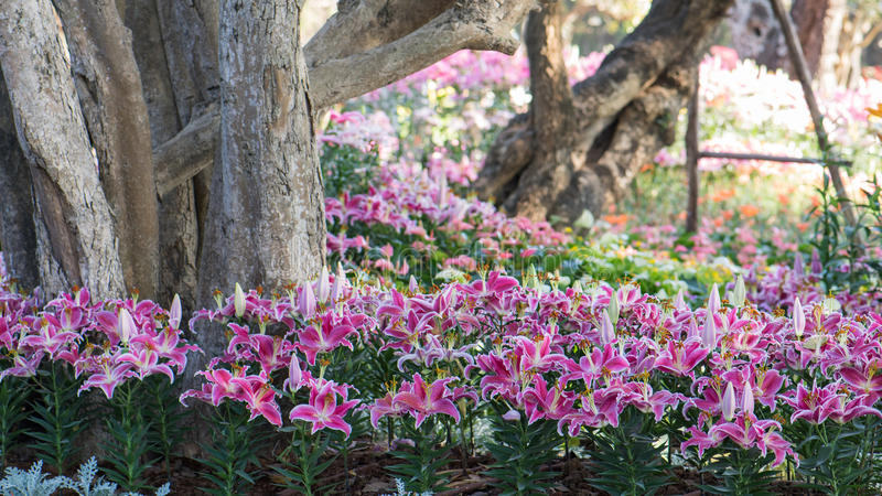 Różowe Wielkanocne leluje obraz stock