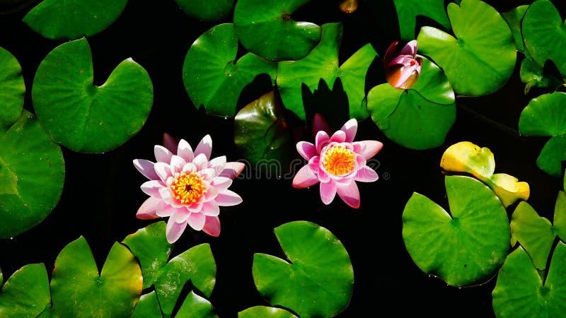 Różowe wodne leluje unosi się wśród jaskrawego - zieleń opuszcza obrazy stock