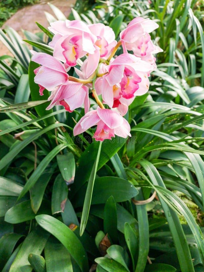 Różowego Cymbidium hybrida storczykowy kwiat obraz royalty free