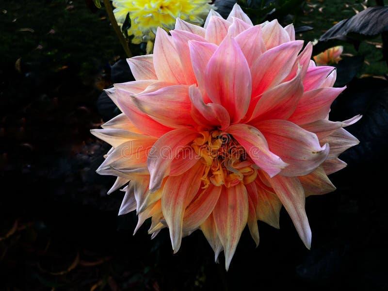 Różowego dalia kwiatu Makro- strzał zdjęcia stock