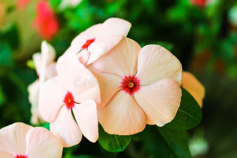 Różowego kwiatu szczegółu widoku Kwitnący bukiet obraz royalty free