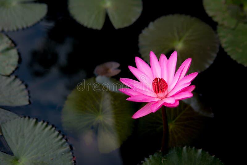 Różowego okwitnięcia lotosowy kwiat w wodzie z liśćmi z poniższym ujawnienia światłem fotografia stock