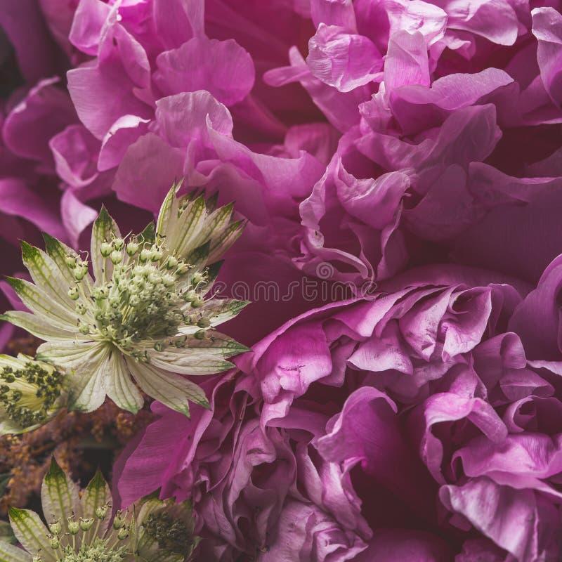Różowego peonia kwiatu makro- cisza z płatek teksturami obrazy stock