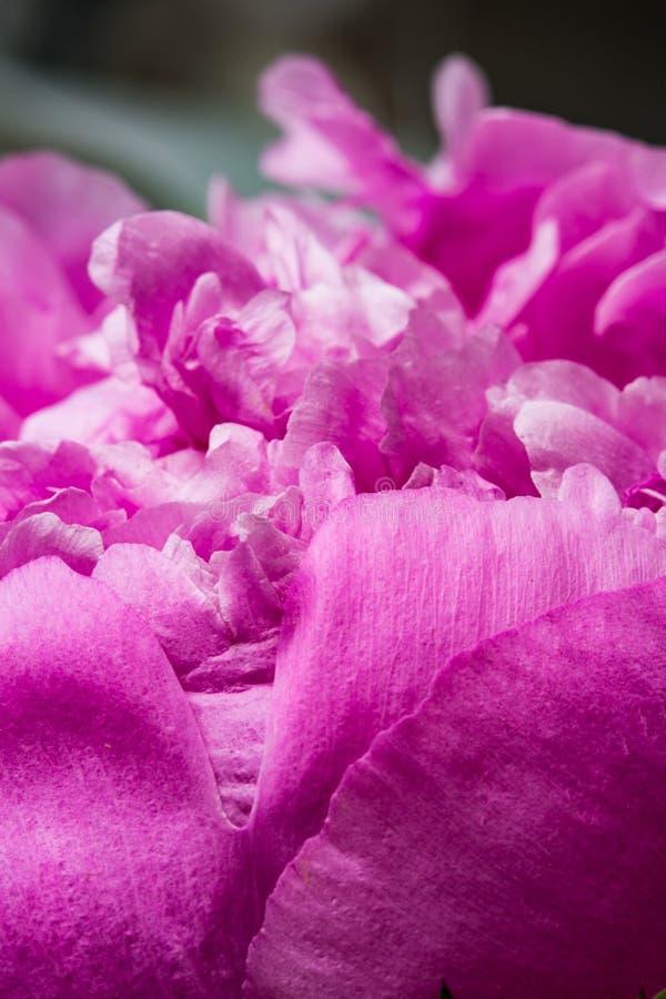 Różowego peonia kwiatu makro- cisza z płatek teksturami fotografia stock