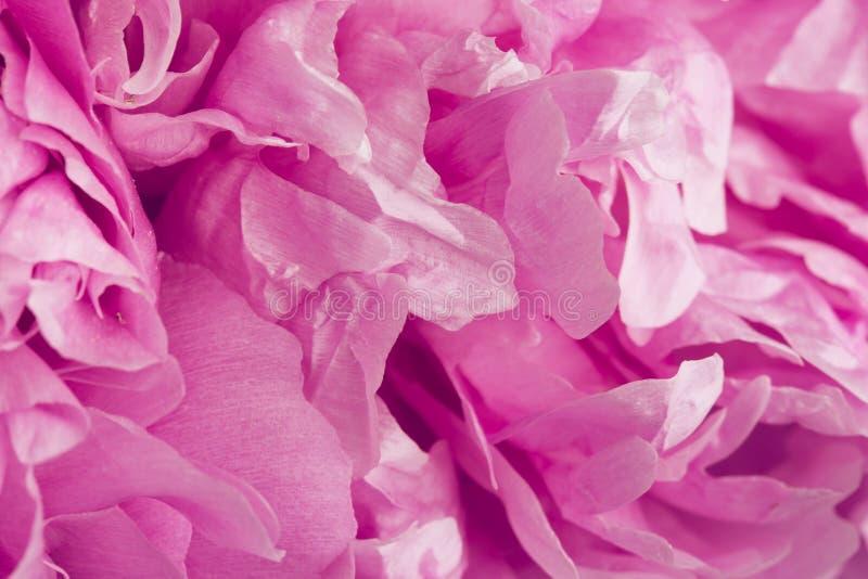 Różowego peonia kwiatu makro- cisza z płatek teksturami obraz stock
