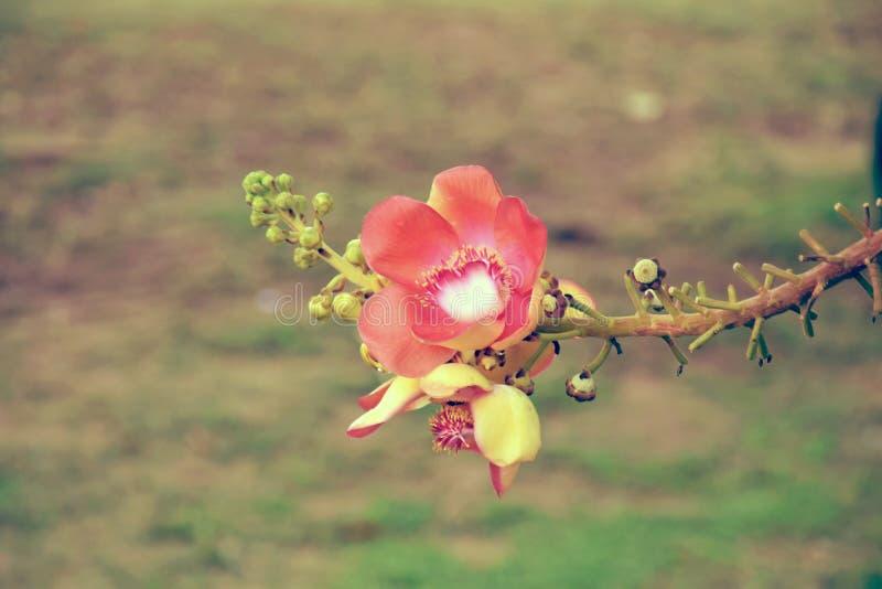 Różowego sal kwiatów cannonball drzewnego sal drzewny sal indu cannonball kwiatu couroupita zdjęcie royalty free