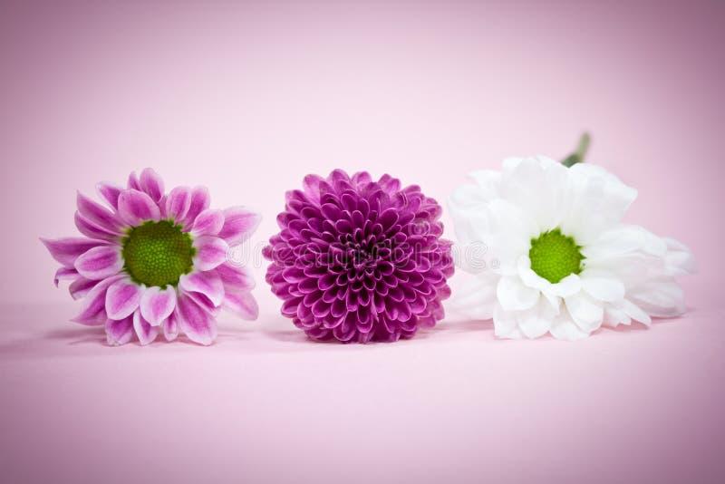 różowią białe kwiaty obraz stock