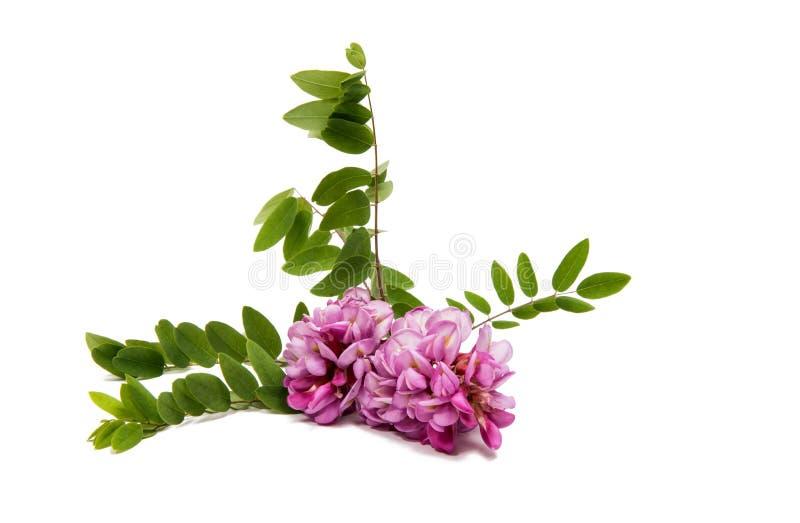 Różowi akacja kwiaty obraz stock