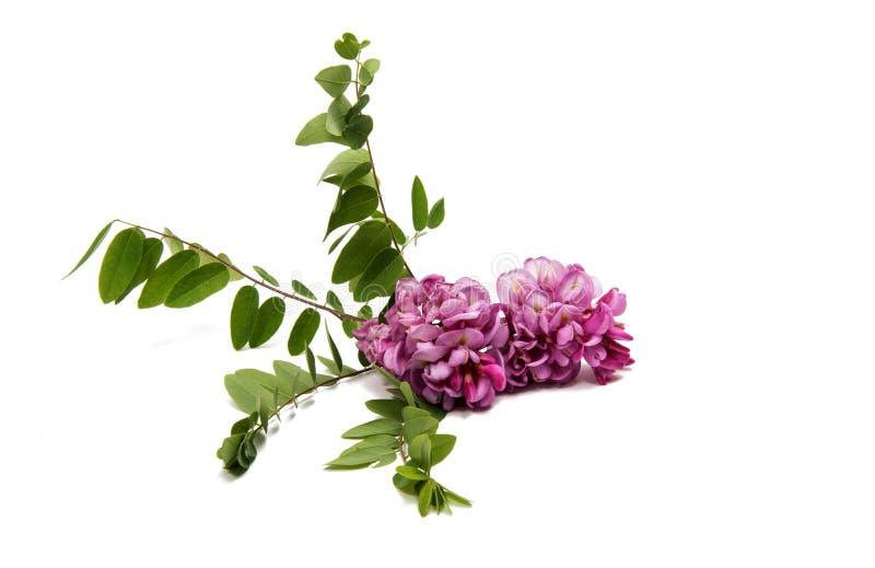 Różowi akacja kwiaty zdjęcia royalty free