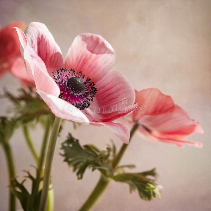 Różowi anemony obrazy royalty free
