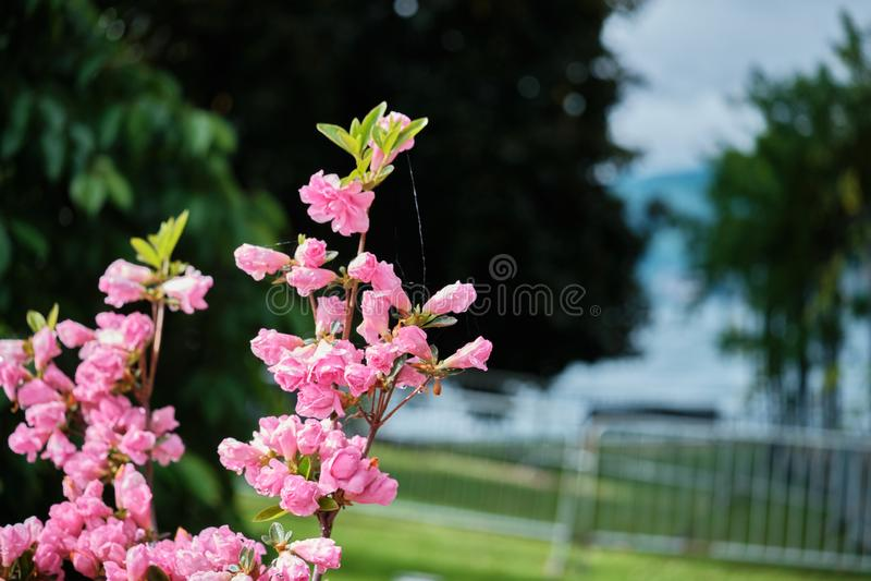 Różowi azalia kwiaty zamknięci w górę zdjęcie stock