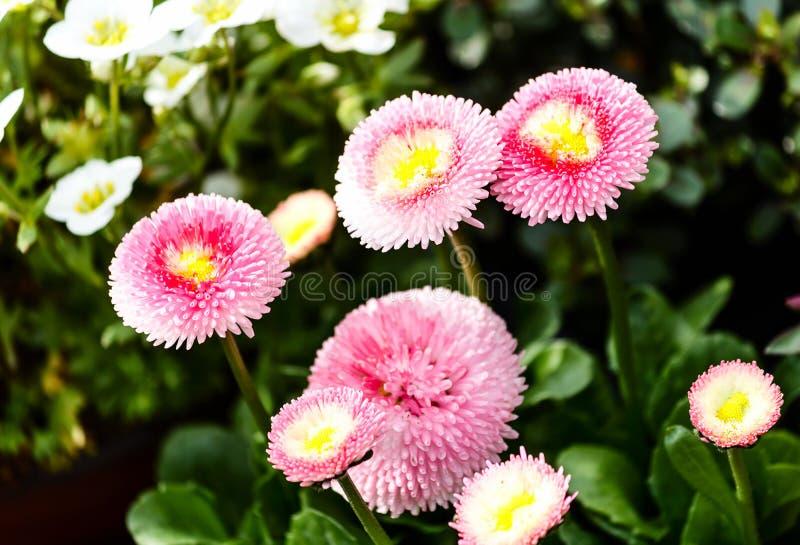 Różowi bellis perennis stokrotki kwiaty obraz royalty free