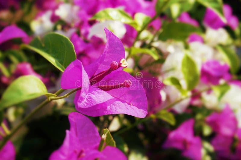 Różowi bougainvillea kwiaty obraz stock