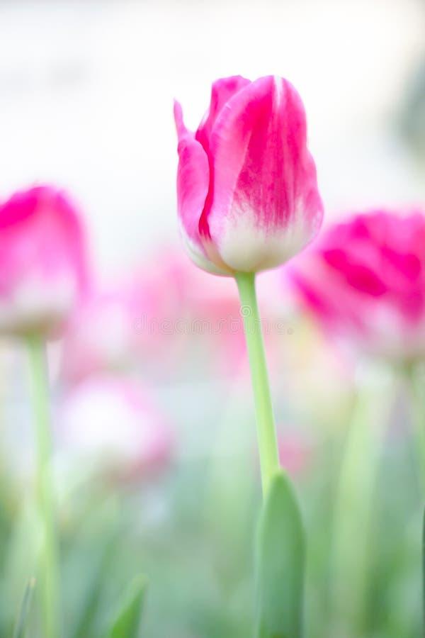 Różowi colour tulipany kwitną i daffodils na natury tle fotografia royalty free