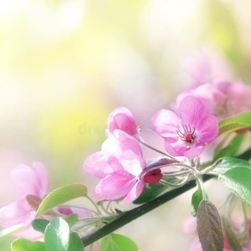 Różowi czereśniowi kwiaty w słońca świetle zdjęcie stock