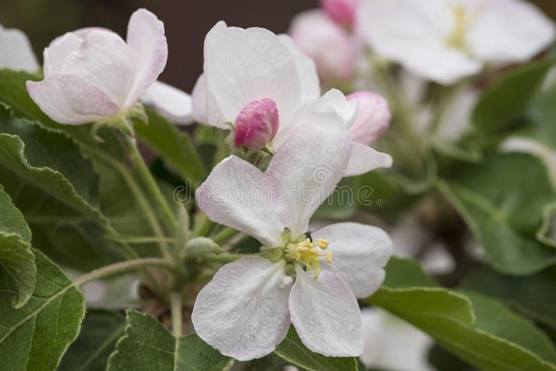 Różowi delikatni kwiaty na gałąź jabłoń zdjęcia royalty free