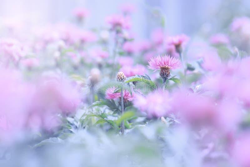 Różowi dzicy kwiaty na turkusowym tle Selekcyjna ostrość obraz royalty free