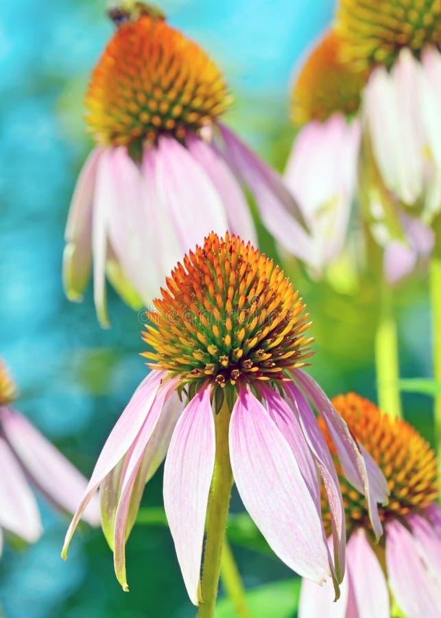 Różowi Echinacea kwiaty obraz royalty free